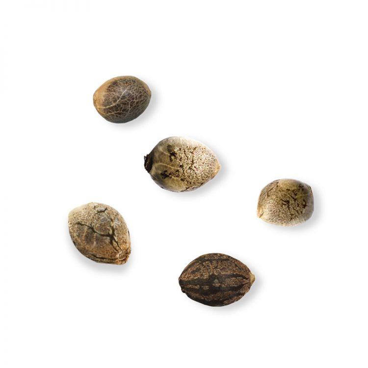 Deliver Goldberry Feminized Marijuana Seeds