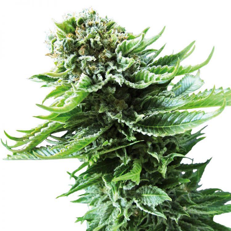 Buy Green Love Potion Feminized Marijuana Seeds