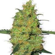 Get Goldberry Feminized Marijuana Seeds