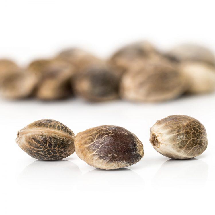 Buy The-OX-Autoflowering-Seeds