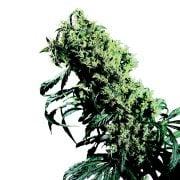 Buy Double OG Autoflowering Feminized Marijuana Seeds