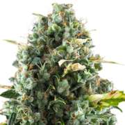 Buy-Lee-Roy-Autoflowering-Feminized-Marijuana-Seeds