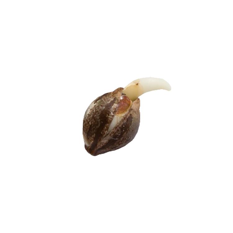 Buy Roy Autoflowering Feminized Marijuana Seeds