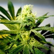 deliver Brains Damage Autoflowering Feminized Marijuana Seeds
