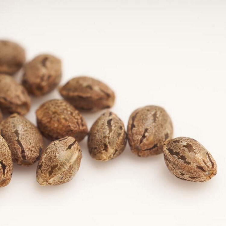 Crouching Tiger Hidden Alien Autoflowering Feminized Marijuana Seeds