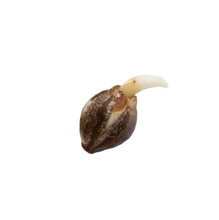 buy Crouching Tiger Hidden Alien Autoflowering Feminized Marijuana Seeds