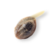 Shop Garlic Bud Feminized Marijuana Seeds