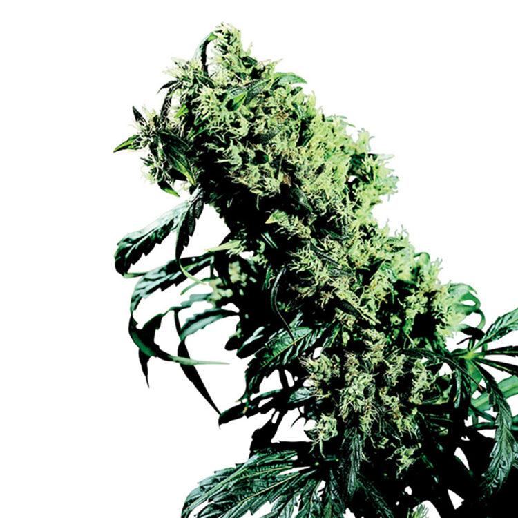 deliver Frida Feminized Marijuana Seeds