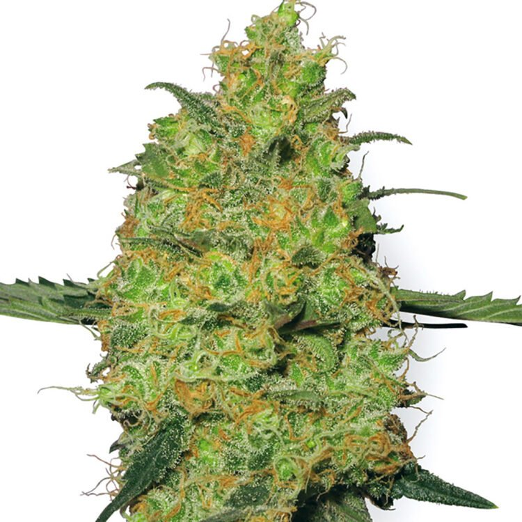 order Super Bud Autoflowering Feminized Marijuana Seeds