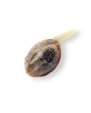 get Rocky Mountain Blueberry Feminized Marijuana Seeds