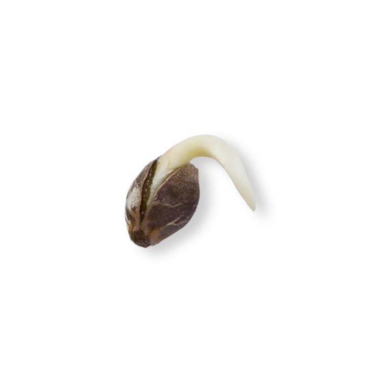 deliver Butterscotch Feminized Marijuana Seeds