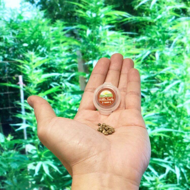 buy Super Bud Autoflowering Feminized Marijuana Seeds