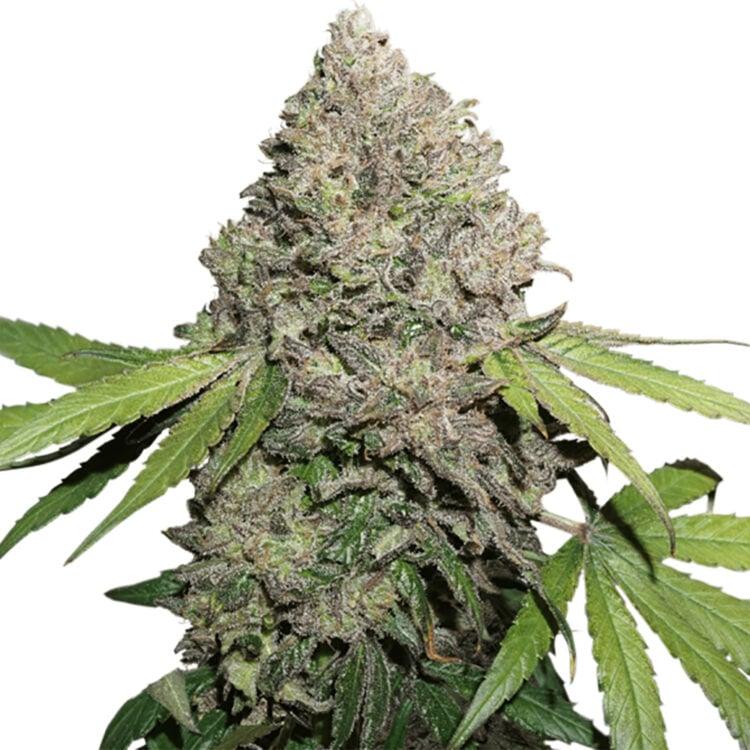 get Aliens On Moonshine Autoflowering Feminized Marijuana Seeds