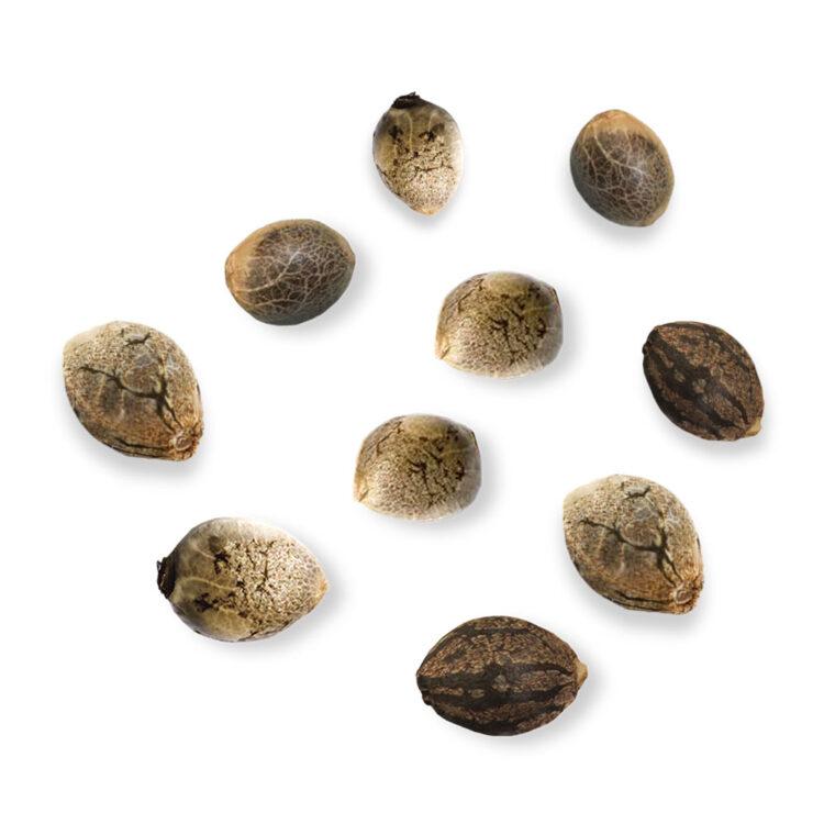 get Blue Monster Feminized Marijuana Seeds
