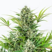 shop Anonymous OG Feminized Marijuana Seeds