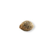 shop Everlast Feminized Marijuana Seeds