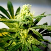 buy Illuminati OG Autoflowering Feminized Marijuana Seeds