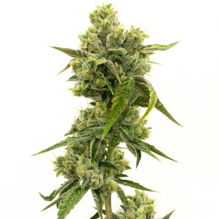 buy Purple Martian Kush Autoflowering Feminized Marijuana Seeds