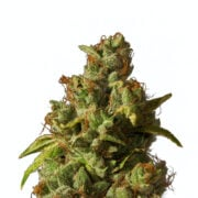 get Whitaker Blues Feminized Marijuana Seeds