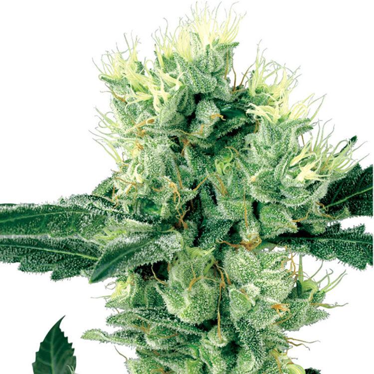 shop Nice Cherry Feminized Marijuana Seeds
