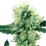 buy Supergirl Autoflowering Feminized Marijuana Seeds