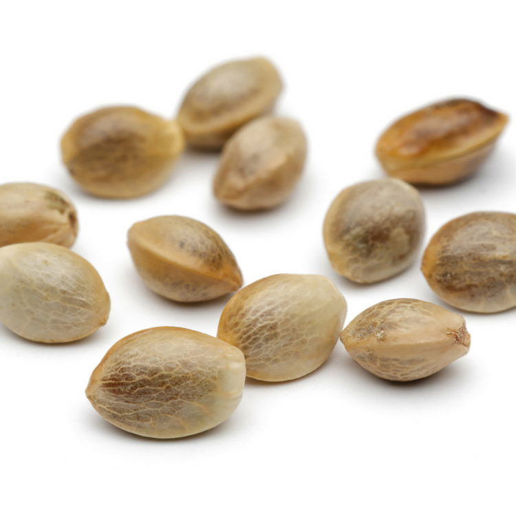 Get Pakistan Valley Kush Autoflowering Feminized Marijuana Seeds