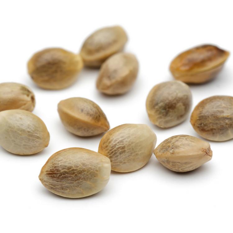 buy Rose Bud Feminized Marijuana Seeds