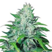 buy Neptune Kush Autoflowering Feminized Marijuana Seeds