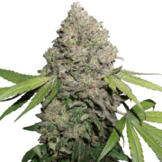 shop Purple Bush Feminized Marijuana Seeds
