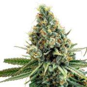 order Cascadia Kush Feminized Marijuana Seeds