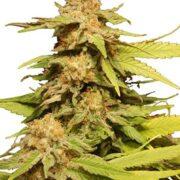 get Chem D.O.G. Feminized Marijuana Seeds