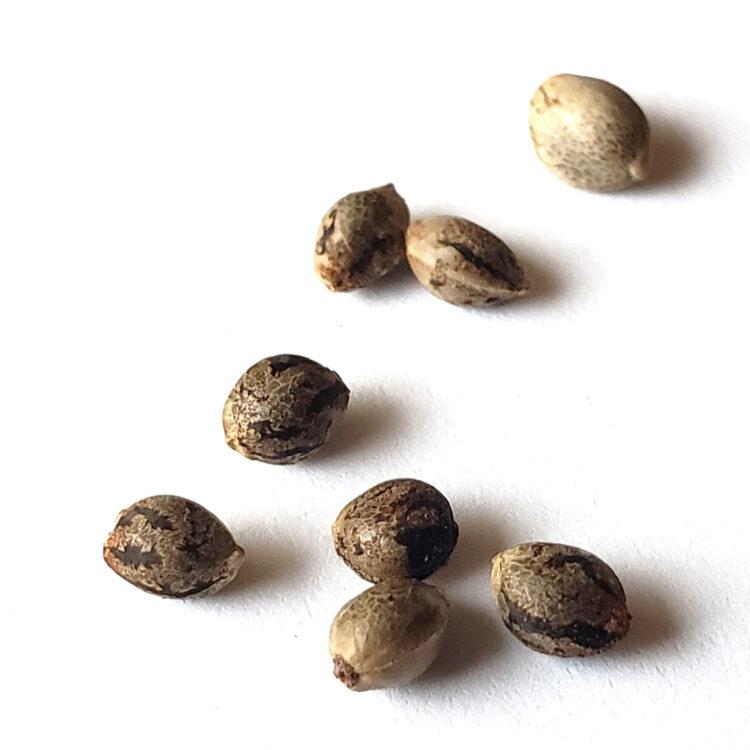 get White Kryptonite Feminized Marijuana Seeds
