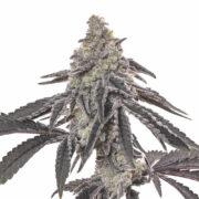 use Harmonia Feminized Marijuana Seeds