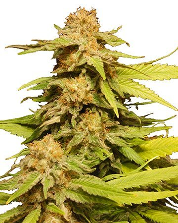 shop Rockbud Feminized Marijuana Seeds