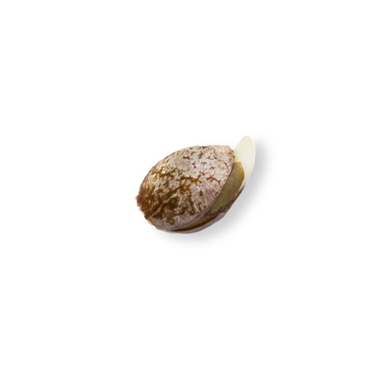 find XXX 420 Autoflowering Feminized Marijuana Seeds