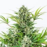shop Afghan Hawaiian Autoflowering Feminized Marijuana Seeds