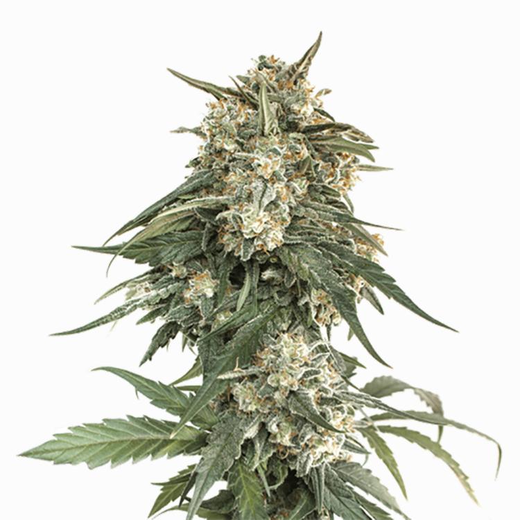 strains Enemy of the State Feminized Marijuana Seeds