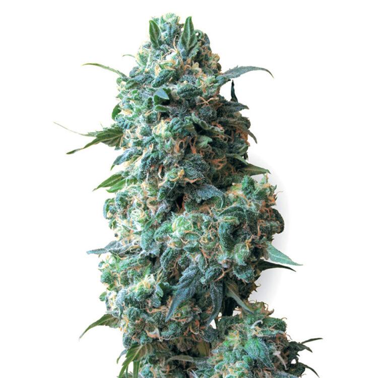 buy Qush Feminized Marijuana Seeds