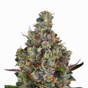 want Extreme OG Feminized Marijuana Seeds