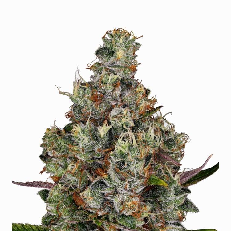 want White Kryptonite Feminized Marijuana Seeds