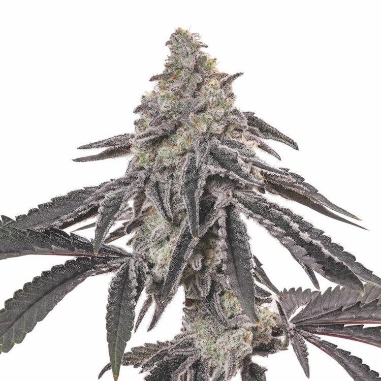 get Ogre Berry Autoflowering Feminized Marijuana Seeds