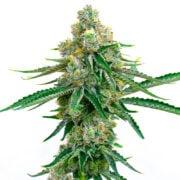Buy Colorado Bubba Feminized Marijuana Flower Regina