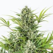 Pacific Blue Feminized Marijuana Seeds on sale
