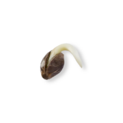 Shop Krishna Kush Autoflowering Feminized Marijuana Seeds