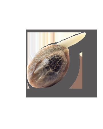 Berry Noir Feminized Marijuana Seeds canada cannabis seeds