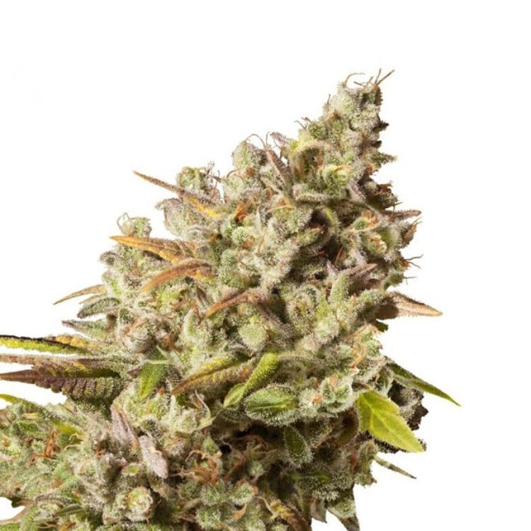 get Ancient Kush Feminized Marijuana Seeds Medicine Hat