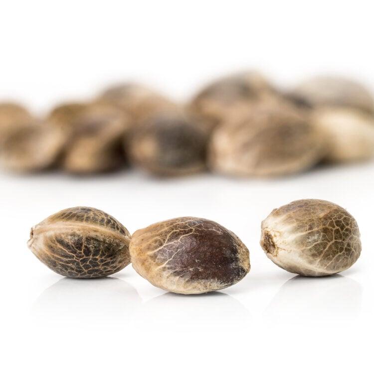 get Domino Feminized Marijuana Seeds Red Deer
