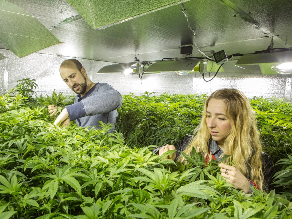 get Buy Marijuana Seeds in USA