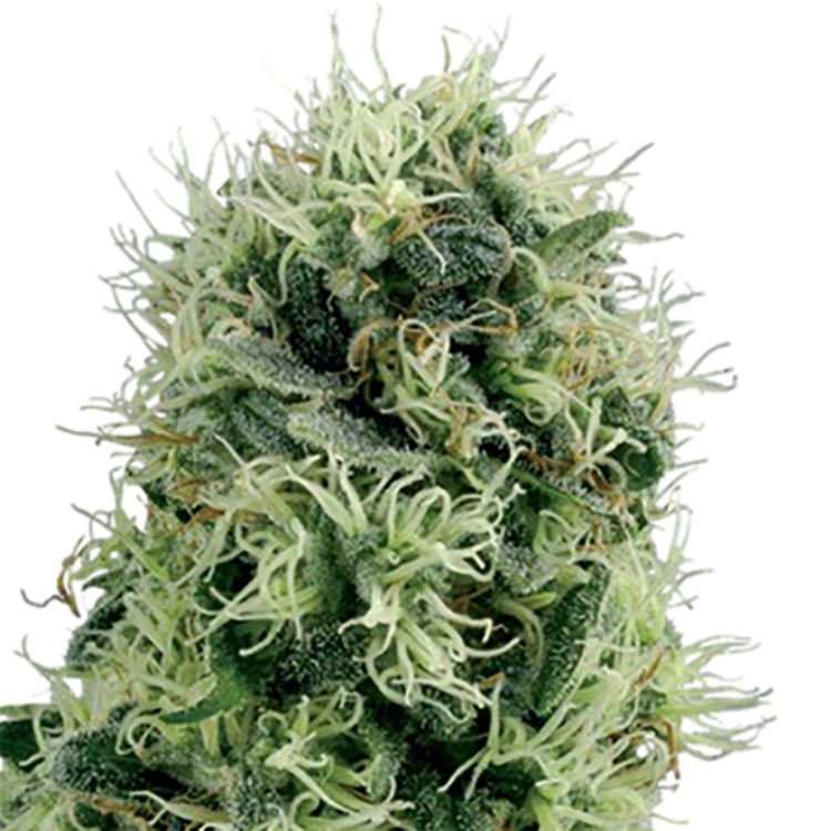 on sale Kahuna Autoflowering Feminized Marijuana Seeds Thompson