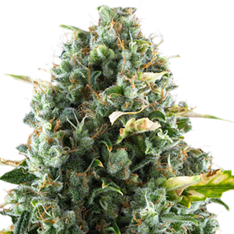 grow OCA's Cloud 9 Feminized Marijuana Seeds Merritt